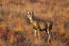 Mule Deer Doe Looking Out