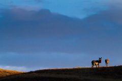 Cow Elk Looking Back