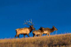 Elk Family on Hill