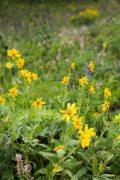 Showy Goldeneye Wildflowers
