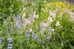 Lupine and Wildflowers