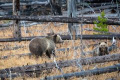 Raspberry Grizzly Bear and Cub in Burned Trees