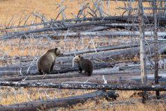 Raspberry Grizzly and Cub on Burned Logs