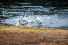 Trumpeter Swans Chasing Cygnet