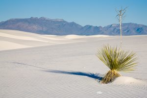 Yucca Plant in White Sands National Monument