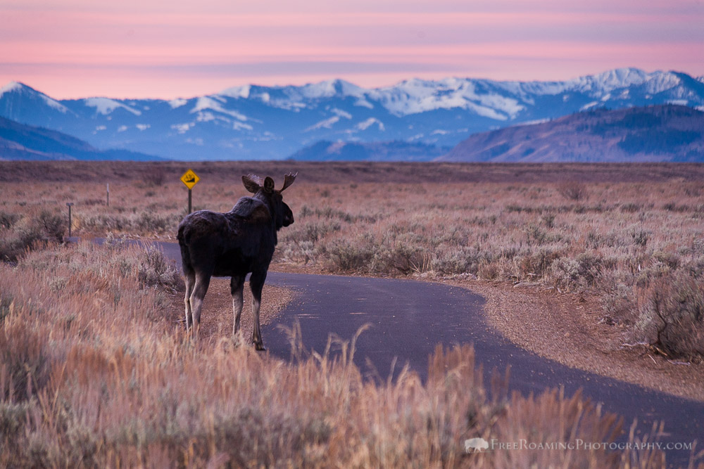 Bull Moose Along Bike Path in Grand Teton National Park