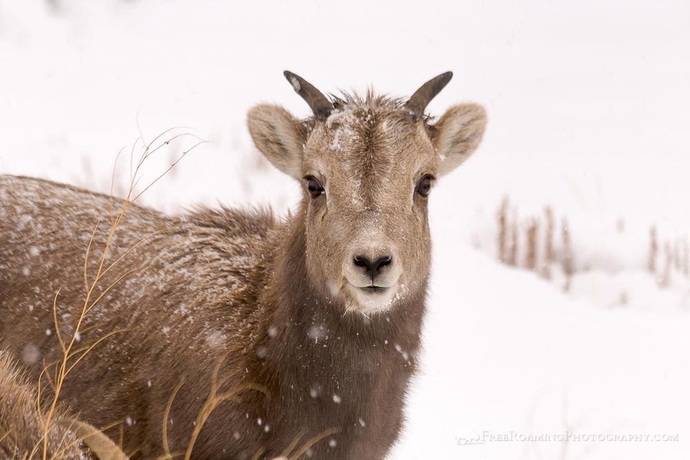 Bighorn Sheep from the National Elk Refuge