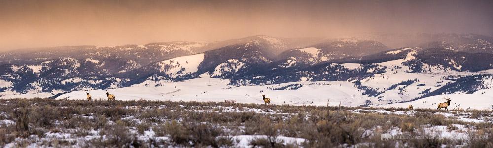 Elk in the National Elk Refuge Panorama