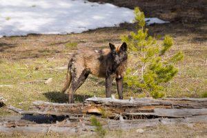 Why America Needs More Predators