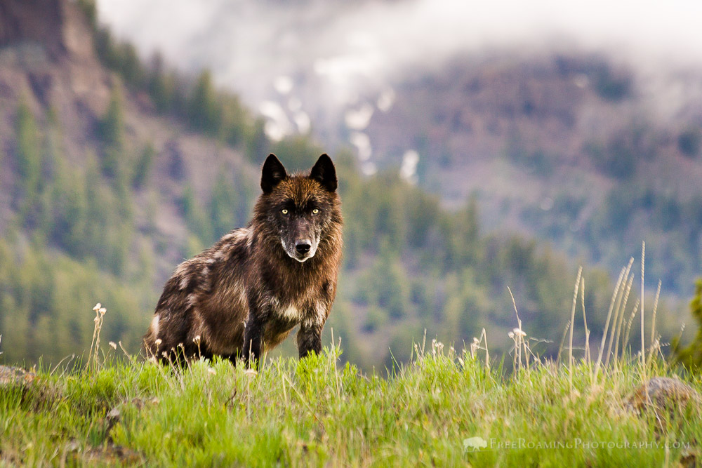 Black Wolf in the Lamar Valley of Yellowstone National Park