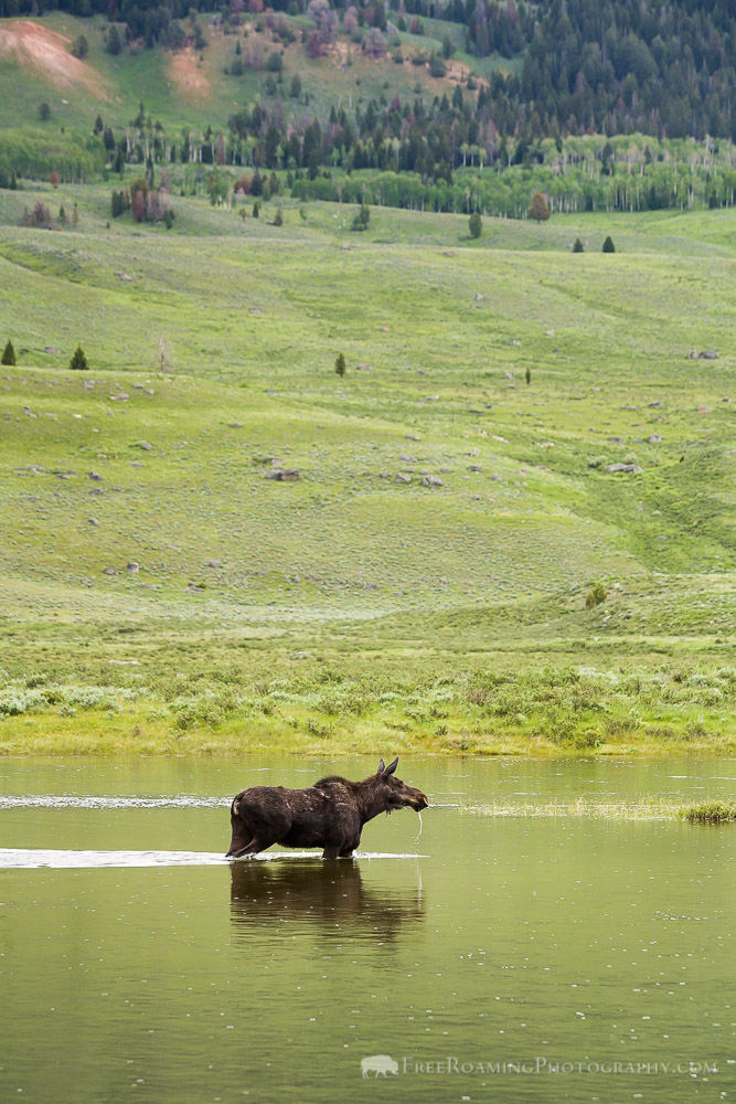 Moose Drooling in the Green River