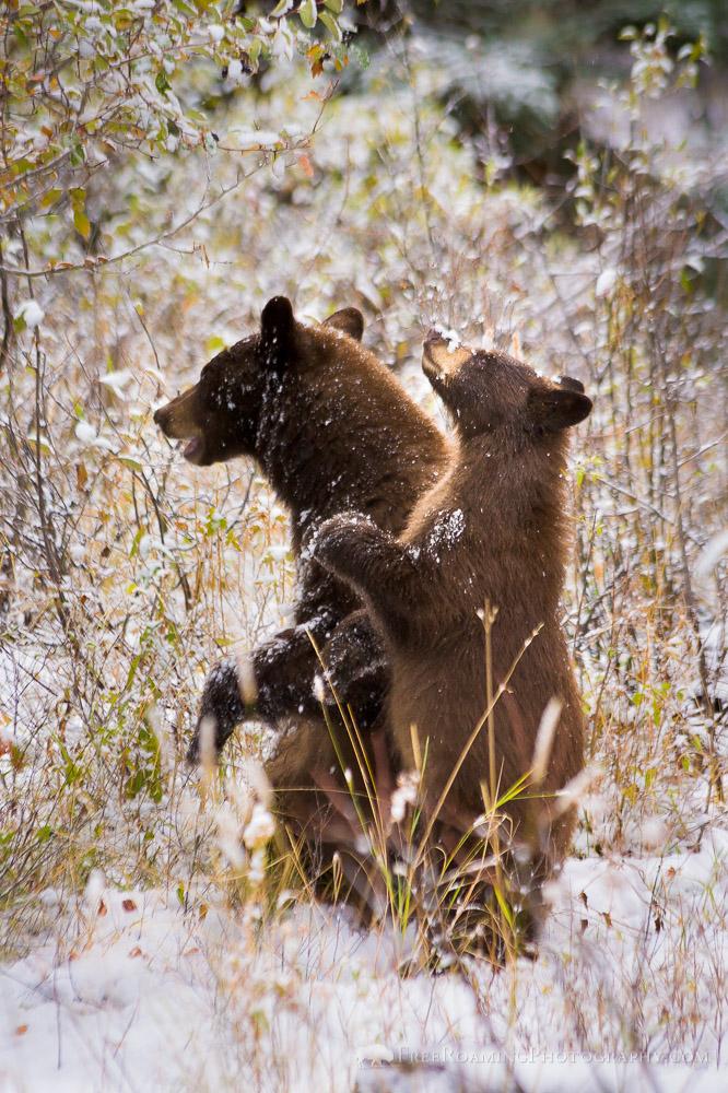 Black Bear Cub Standing Upright