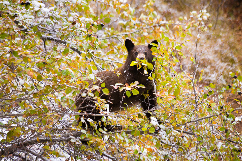 Black Bear Cub Up a Tree Eating Berries