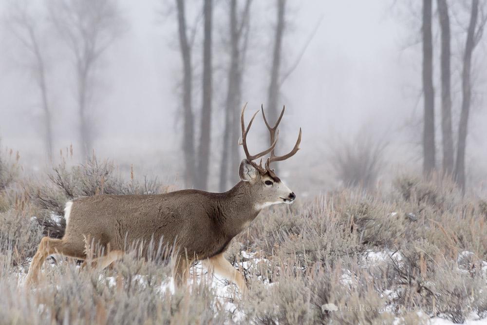 Mule Deer Buck in Fog