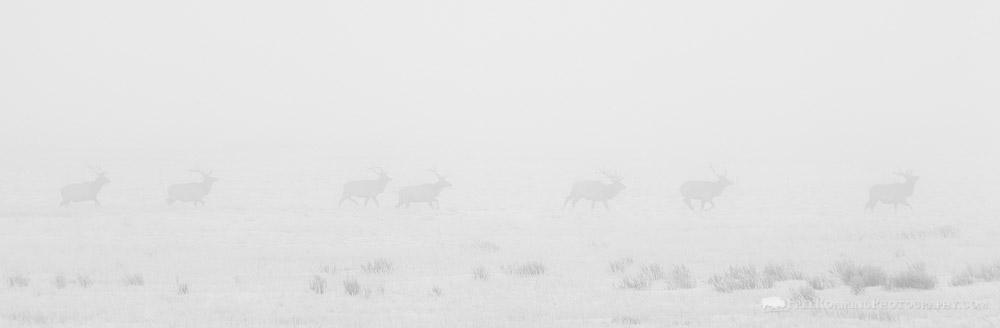 Bull Elk Running Through Fog in Black and White