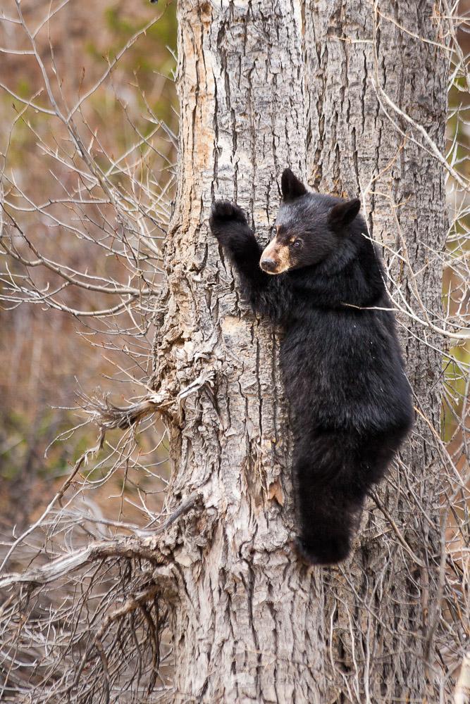 Black Bear Cub Up a Tree in Grand Teton National Park