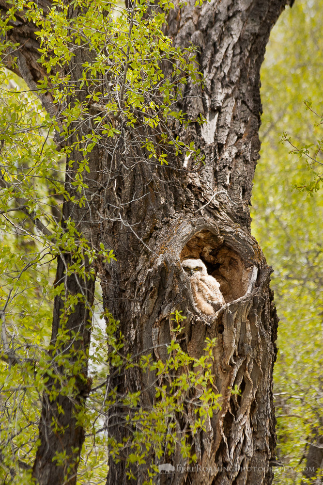Great-Horned Owlet in the Gros Ventre Campground