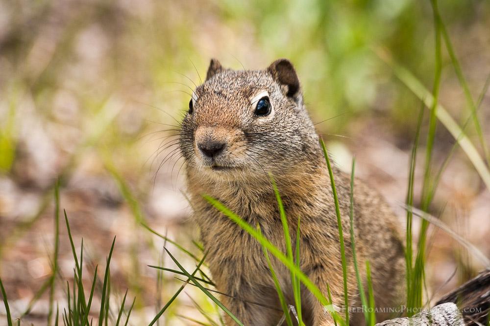 Ground Squirrel in Grass