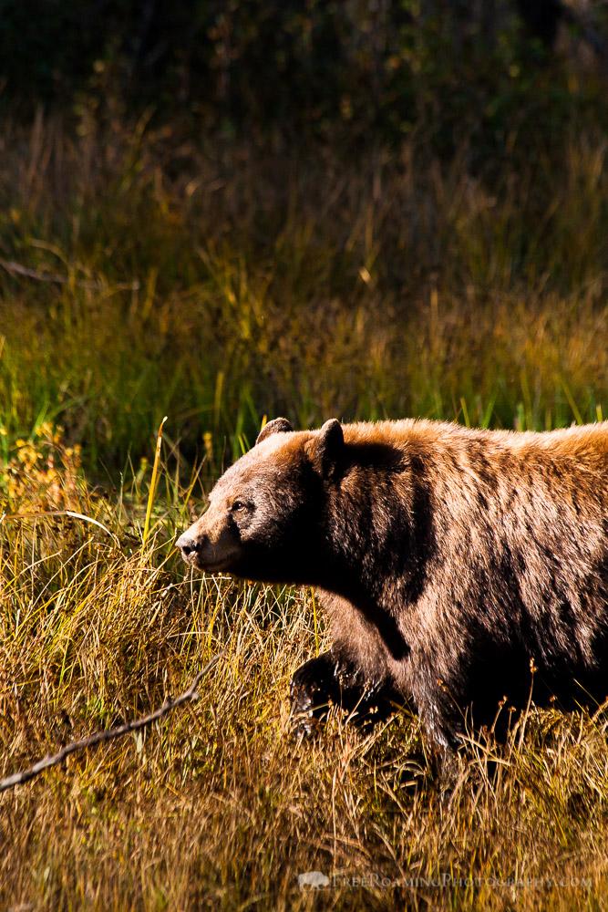 Disrespecting Bears on Moose-Wilson Road