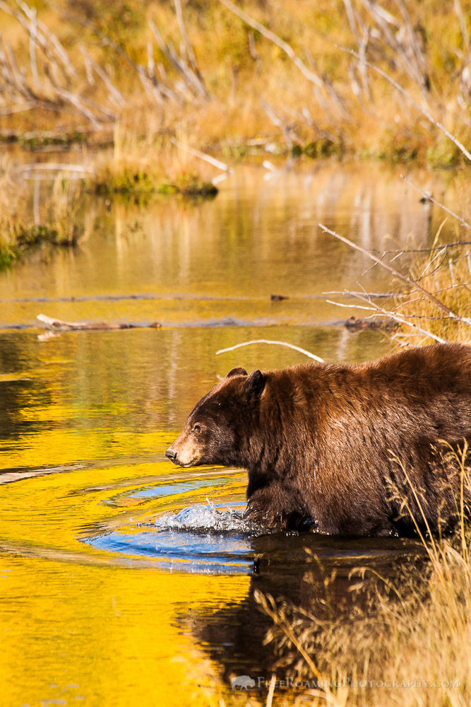 Black Bear Crossing a Pond