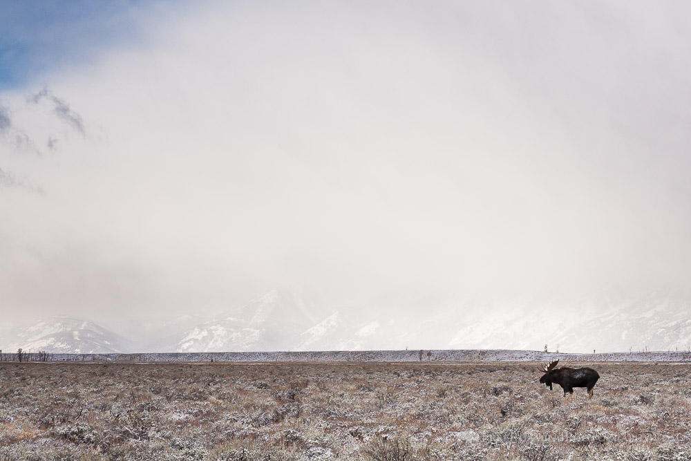 Bull Moose and Incoming Snow Storm