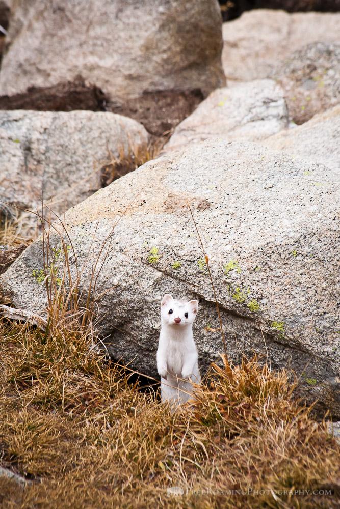 Long-Tailed Weasel Near Goodwin Lake