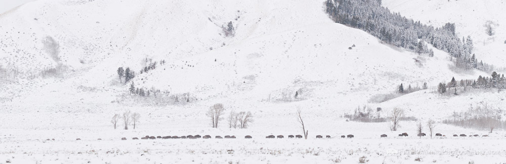 Migrating Bison Herd Panorama