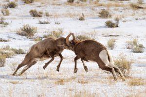 Bighorn Sheep Rams Fighting