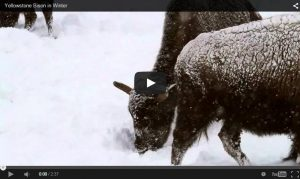 Bison of Yellowstone National Park in Winter