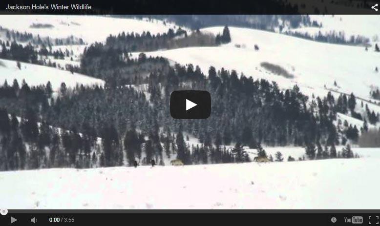 Jackson Hole Winter Wildlife Video Compilation
