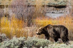 Scarface Grizzly Bear in the Lamar Valley