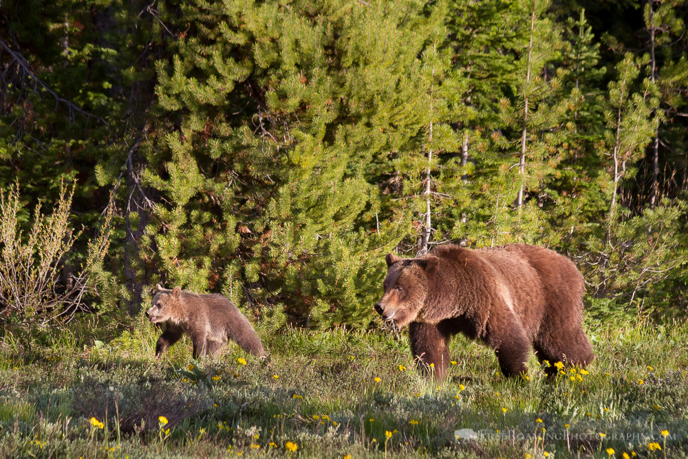 Grizzly Bear #399 and Cub
