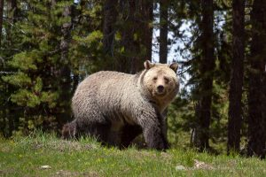 'Blondie' Grizzly Bear and the Teton Mountains