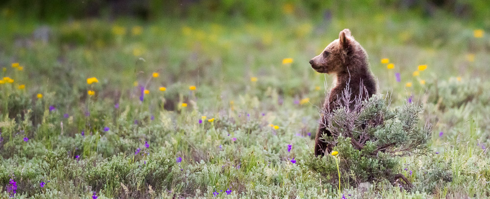 Grizzly Bear Cub of #399 Standing