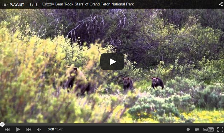 Grizzly Bear 'Rock Stars' of Grand Teton National Park Video