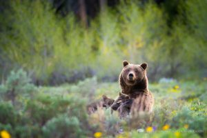Grizzly Bear #399 Nursing Her Cubs