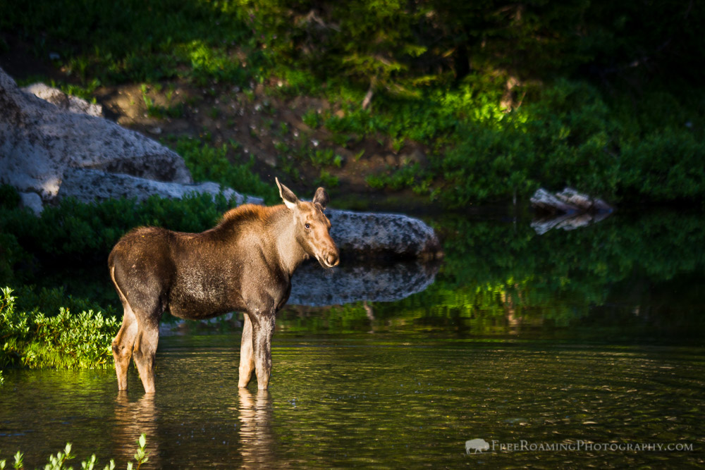Close Encounters with a Family of Moose