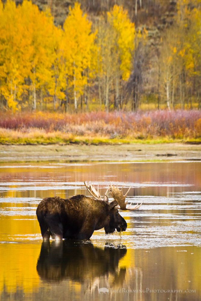 Bull Moose at Autumn Oxbow Bend