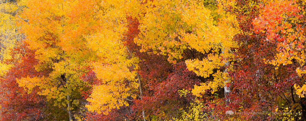 Fall Colors and the Moose-Wilson Road Controversy