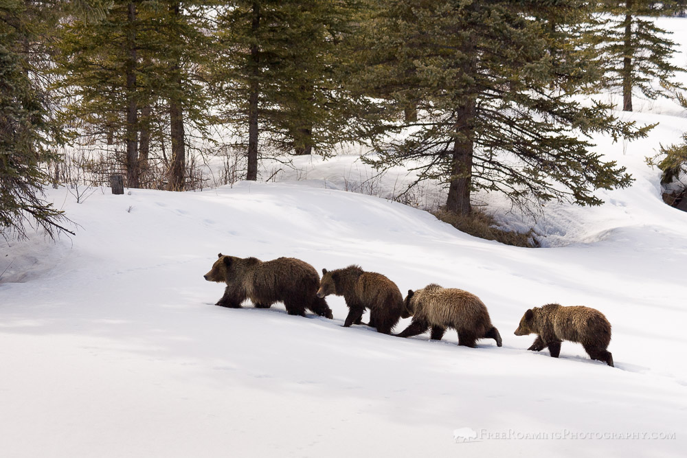 Family Feud Between Grizzly Bears #399 and #610