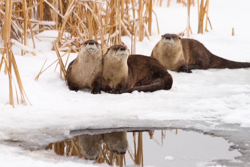 Otters in Snow