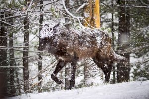 The Backward Truth About Wolves and Grizzlies