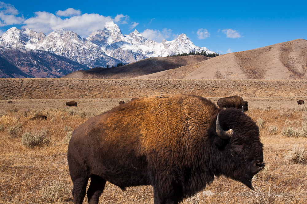 When to See Wildlife in Grand Teton National Park and Jackson Hole
