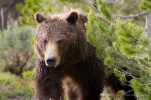 Grizzly Bear Controversy from the Grand Teton National Park Elk Hunt