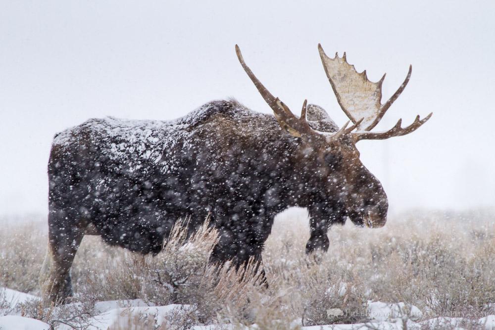 Bull Moose in Snow Storm