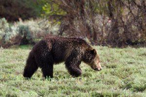 Understanding the Misunderstood Grizzly Bear
