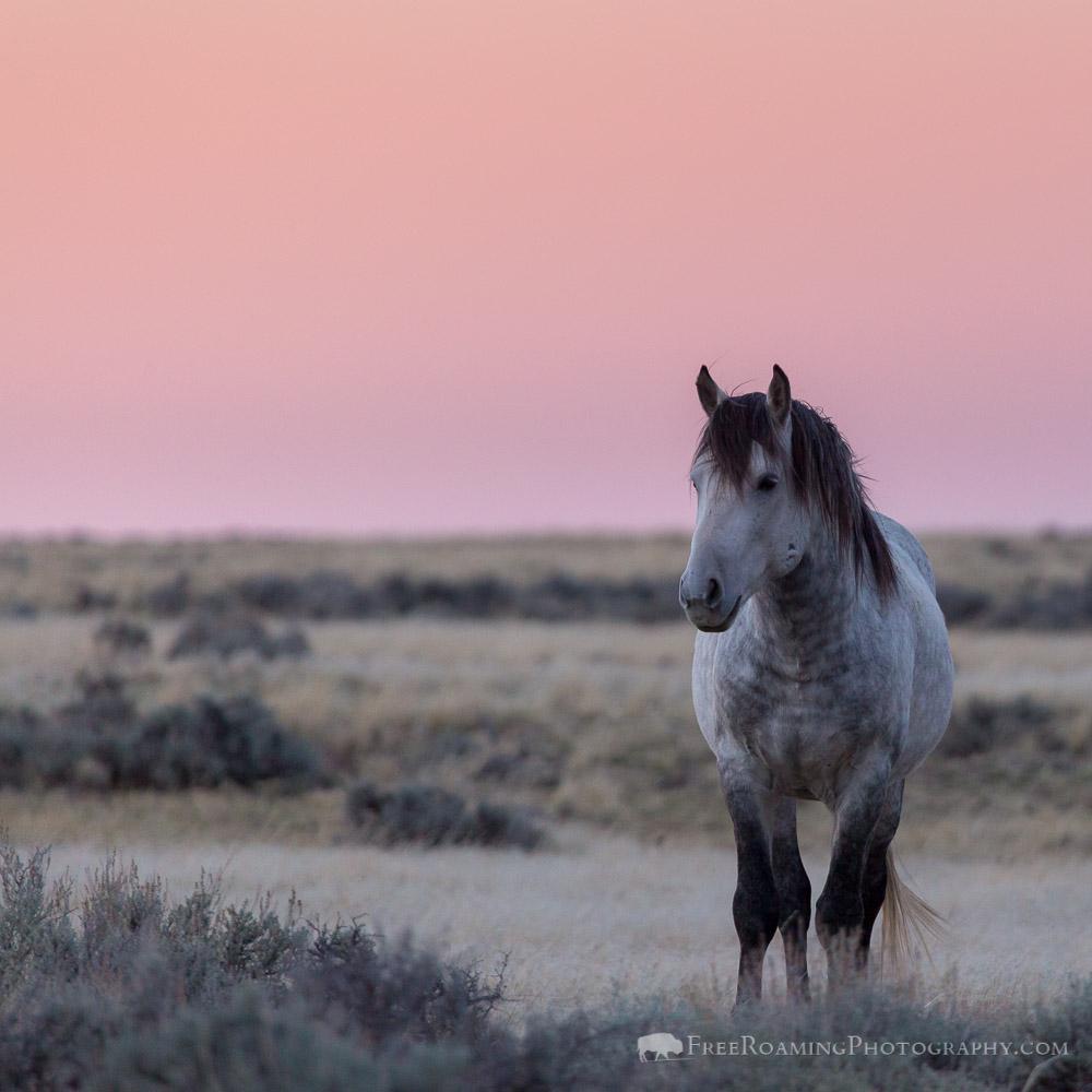 White Mustang in Desert Sagebrush