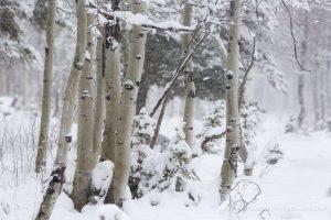 Aspen Trees in Snow Storm