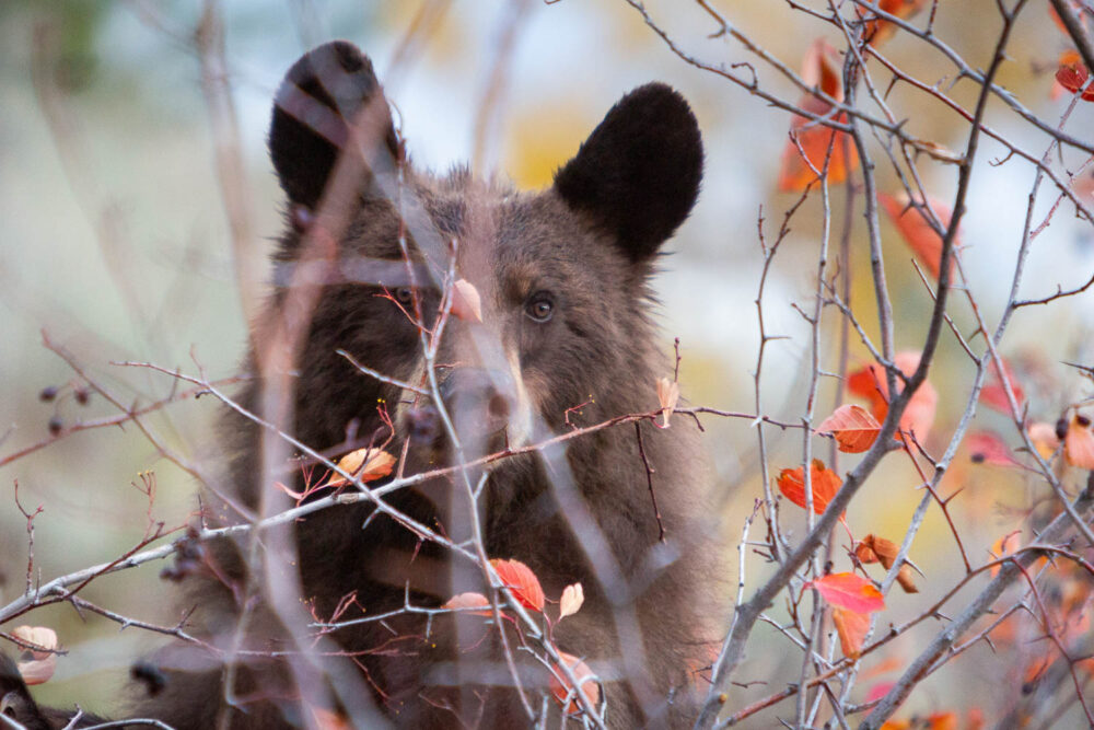 Black Bear Behind Berry Bushes