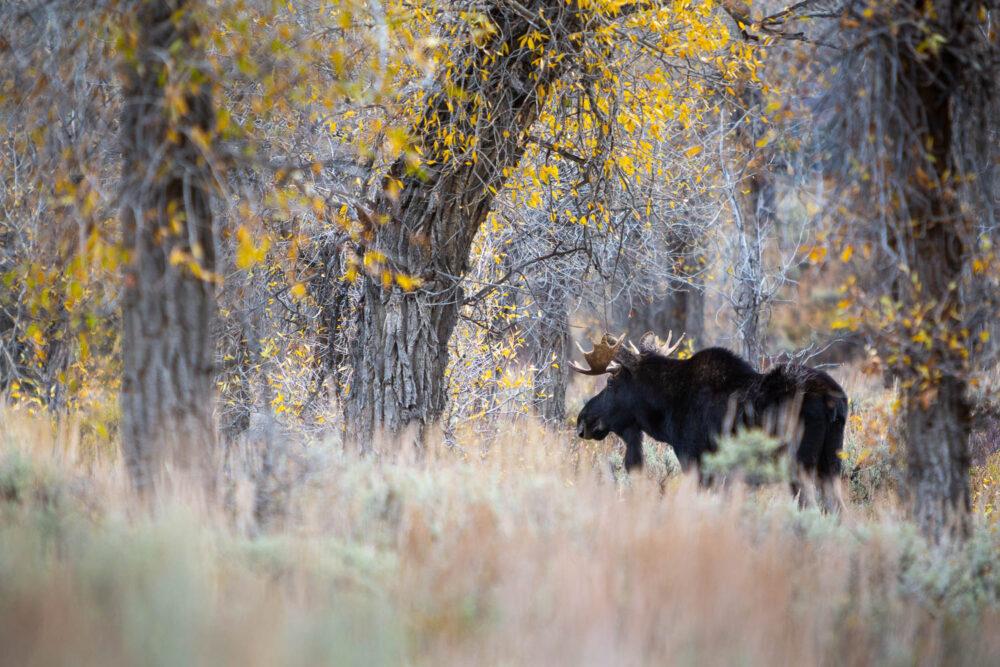 Bull Moose Below Fall Cottonwood Trees